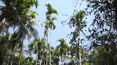 Betel/Areca Nut tree in Goa India Stock Footage