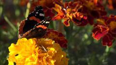 Butterfly on Chrysanthemum Flower in Field, Gathering Pollen in Garden, Macro 4K - stock footage
