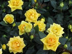 Bunch of lovely yellow roses - flowers and plants Stock Photos