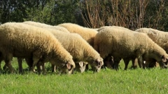 Stock Video Footage of 05. Flock of sheep graze in field. Herd. Sheep farm. Domestic animals. Grassland