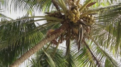 INDIA, CIRCA 2013: Man collects coconuts on the palm tree Stock Footage