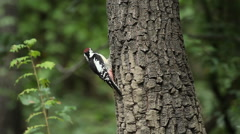 Middle spotted woodpecker hunting insects on a tree in forest Stock Footage