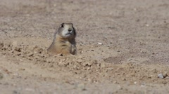 A Black-tailed prairie dog, Cynomys ludovicianus Stock Footage