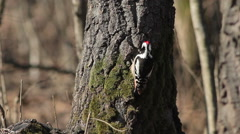 Middle spotted woodpecker during winter snowstorm in mountain forest Stock Footage