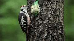 Middle spotted woodpecker while feeding with seeds in the green forest Stock Footage