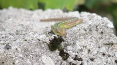 A wall lizard lying on a stone and observing a fly nearby Stock Footage