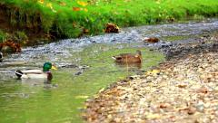 ducks is swimming in the water - stock footage