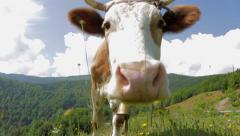 Cow licking the camera Stock Footage