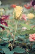 yellow rose bud - stock photo