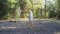 Whitetail Deer Raccoons - stock footage