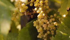 Tropical gardens, berries, grapes, vineyard Stock Footage