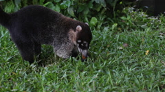 Close up of a Coati Mundi eating a mango Stock Footage