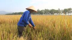 woman farmer harvest on a rice field Stock Footage
