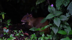 Common agouti eating Stock Footage