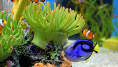 Clownfish Swimming with other fish in aquarium Stock Footage