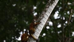 2 squirrel monkeys climb up tree Stock Footage