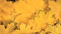 Yellow Maple leafs - stock footage