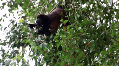 Mother and baby Howler Monkey hanging in tree and scratching Stock Footage