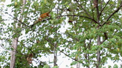 Squirrel monkey moving and hanging in trees Stock Footage