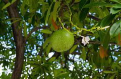 Fruits of cerbera odollam tree Stock Photos