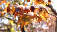 Autumn maple leaves in the snow. The first snow in the autumn park. Stock Footage