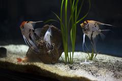 group of angelfish - stock photo
