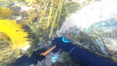 Free diver collecting abalone (paua) underwater and checking them for size Stock Footage