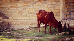 Stray cow grazing near Jaisalmer Fort, India. Stock Footage