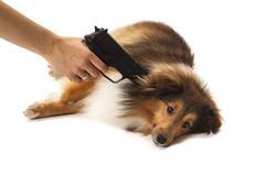 person aiming handgun on dog - stock photo