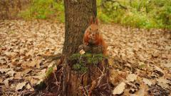 Squirrel in the autumn forest Stock Footage