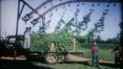 1276 - agricultural Hops are harvested  - vintage film home movie Stock Footage