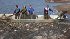 Fishermen Harvest Carp Ahead of Christmas - stock photo