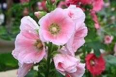 Hollyhock flower, beautiful pink flower. Stock Photos