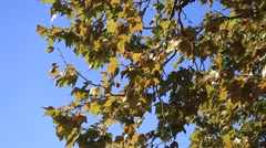 wind moves the leaves of a tree in a clear day - stock footage