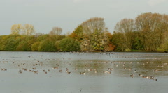 Very large flock of greylag geese swimming on lake an taking off. Stock Footage