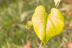 vine leaf in shape of heart at sunrise light. - stock photo