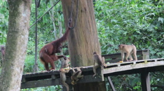 Orangutans at conservation centre Malaysia Stock Footage