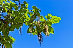 Catalpa ovata against the blue sky - stock photo