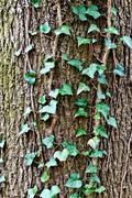 Ivy ordinary or ivy climbing (lat. hedera helix) Stock Photos