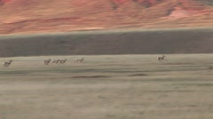 Pronghorn Antelope Young Several Running Spring Dawn Fawn Playing Stock Footage