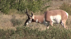 Pronghorn Antelope Buck Adult Lone Feeding Summer Stock Footage