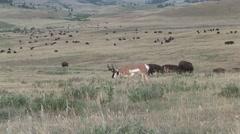 Pronghorn Antelope Buck Adult Herd Feeding Summer Herd Stock Footage