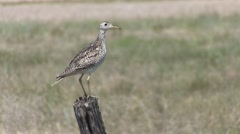 Upland Plover Adult Lone Breeding Spring Calling Sandpiper - stock footage