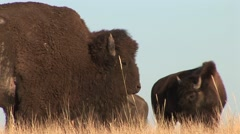 Bison Bull Cow Breeding Summer Rut - stock footage