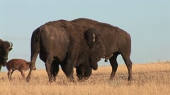 Bison Bull Adult Pair Fighting Summer Stock Footage