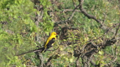 Bird Golden oriole perched on the branch Stock Footage