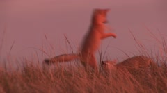 Swift Fox Young Playing Summer Sunrise Stock Footage
