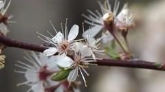 Plum Flower Spring Wild American Bloom Branch Pan Stock Footage