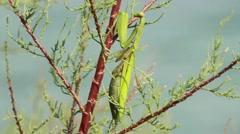 Female of a Praying Mantis Stock Footage