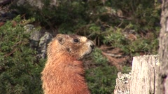 Yellow-bellied Marmot Lone Summer Standing Stock Footage
